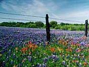 Wildflowers in the Hill Country